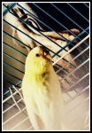 Yellow Budgie by DimmedFaith