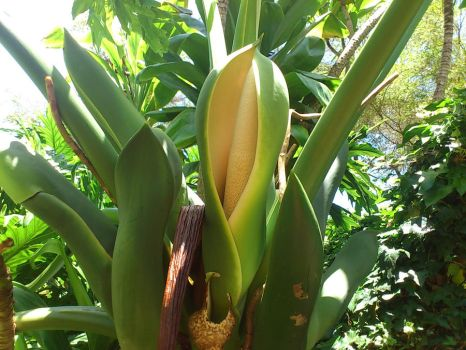 Giant Philodendron blossom by Dakahna