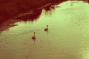 Swans by Emiliee91