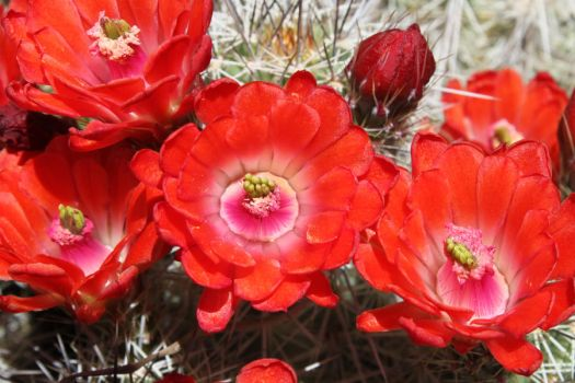 Red Desert Blooms by Dspaceman
