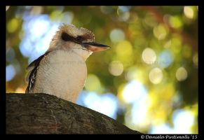 Kookaburra III by TVD-Photography