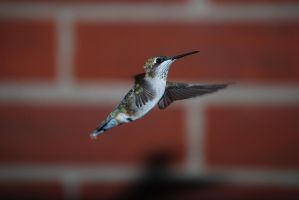 Female hummingbird by Bodatheyoda
