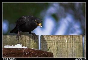 The NZ Blackbird by carterr