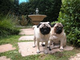 Pugs by MarkNewman