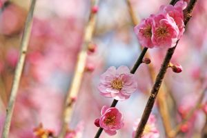 Blossomed Pink Plum III by johnchan