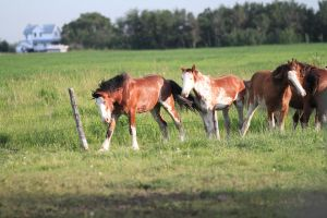 Clydesdales 5 by okbrightstar-stock