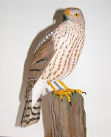 Sharp-Shinned Hawk4 by Bagheera3