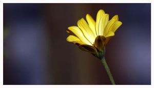 Yellow  Daisy by ameliasantos