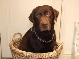Brown Labrador by DiveEleanorDive