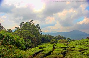 Tea gardens near Club Mahindra Munnar by vharishankar