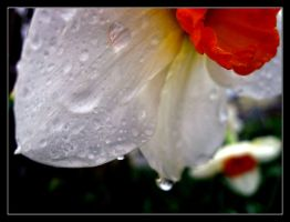 White Narcissus by Janorien