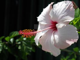 Light Pink Hibiscus by EyeInFocus