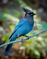 Stellar's Jay by DeniseSoden