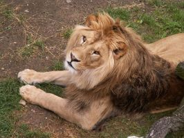 Barbary Lion 03 by animalphotos