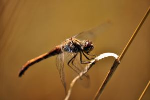 Dragonfly (Odonata) by MachPL