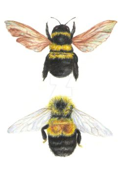 Endangered Bumble Bees by NickiBrooks