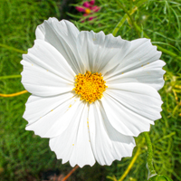 White Cosmos by gregchapin