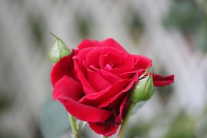 Red Red Rose by Rjet33