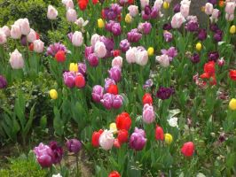 tulips in istanbul by galopper
