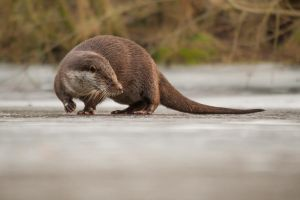 Otter on Ice by NicoFroehberg