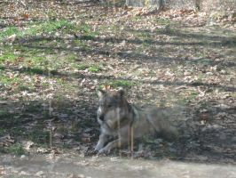 Sittin Pretty- Mexican Wolf by ToxicSerpent