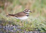 Killdeer by deseonocturno