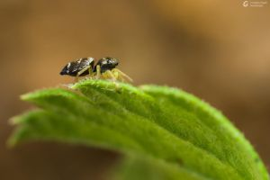 Jumping Spider's Side by Femto-Pjd