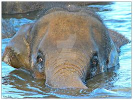 Indian Elephant swim by kpadda
