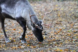 Autumnal reindeer by MorganeS-Photographe