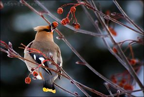 Bohemian Waxwing by Sarah--Lynne