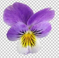 03 pansies+transparent by ForestGirlStock