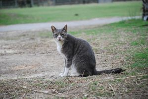 Grey Tabby Cat by CompassLogicStock