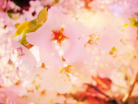 Cherry Blossoms by TheLoneTree