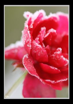 Winter Roses by Eternal-Salvation