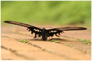 butterfly from the front by Claudia008
