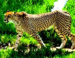 Cheetah by brooke1395