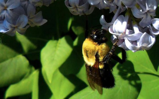 Bumble On Lilac by DaLeahWeathers