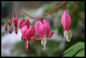 Be Bold - Bleeding Heart 3 by KingsRansom