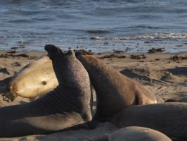 Elephant seal fight by photographyflower