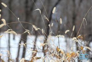 Prairie Grass on a Winters Day by BCMmultimedia