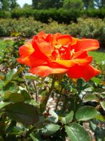 Orange Rose. by KristineAdelia