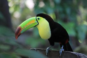Toucan 2 by oh-juliet