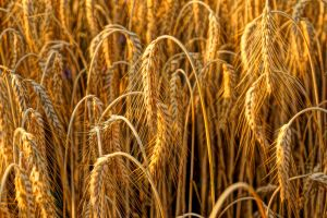barley not wheat by Mittelfranke