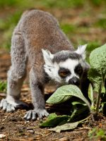 Ring Tailed Lemur 00 - June 12 by mszafran