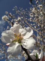 mighty walnut blossom by thejessicablack
