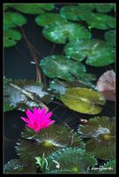 Lily Pads by clarinetJWD