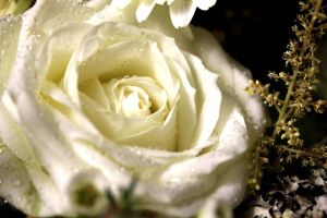White Rose 2 by TheLittleCrow