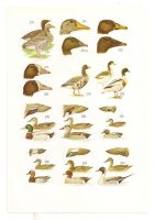 Antique birds print 2 by OMEGA86
