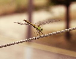 dragonfly by IzaballaAntern