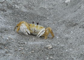 11.11.10 - crab by brookeasaurr